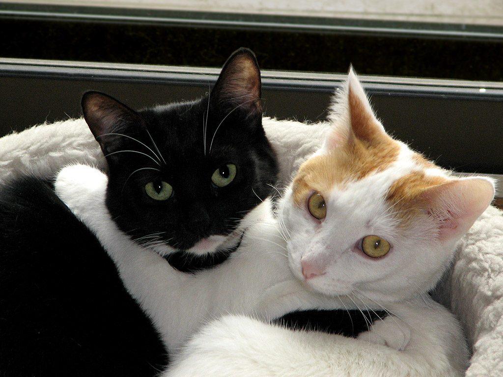 Black_white_cats